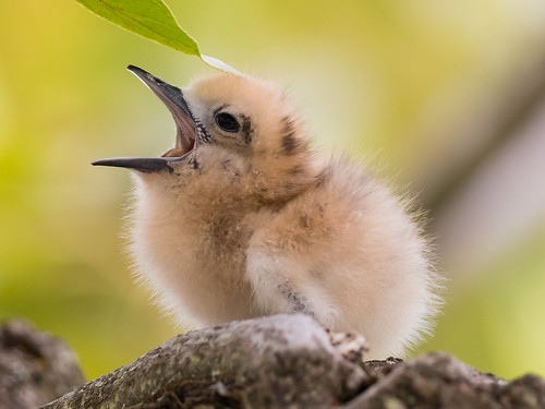 whitetern chick babytern babybird bird gygisalba uhm uhmanoa seabird tern honolulu oahu hawaii bokeh yawn young urban
