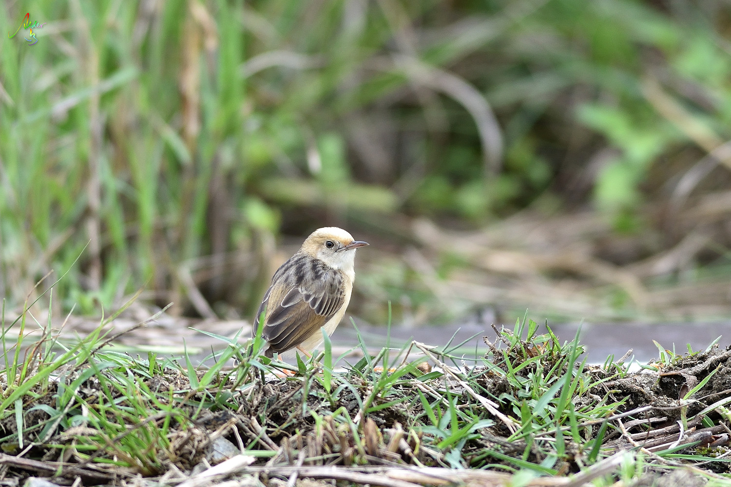 Golden-headed_Cisticola_3244
