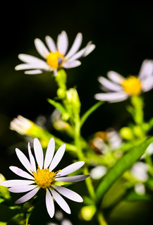 Little White Flowers, Lakewalk, Duluth