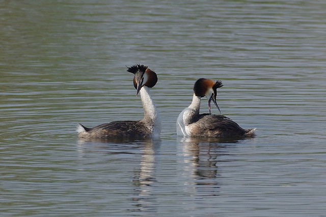 IMGP2574a Great Crested Grebes, RICOH PENTAX K-3, HD PENTAX-D FA 150-450mm F4.5-5.6 ED DC AW
