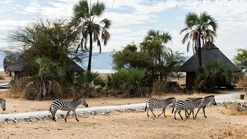 tanzania tanzania2016 zebra
