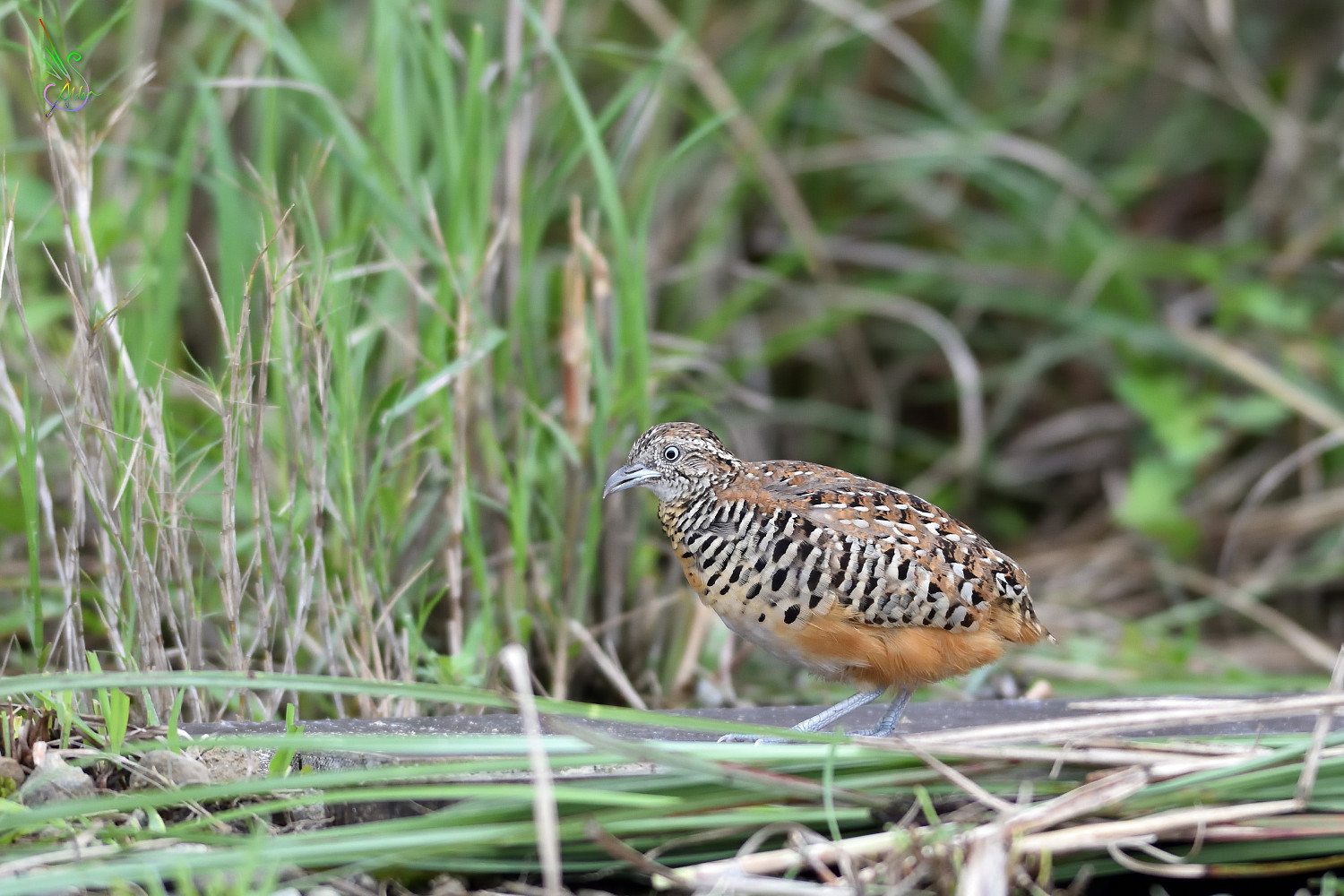 Barred_Buttonquail_2468