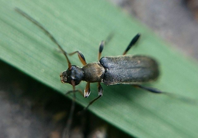 Grammoptera ruficornis - gyűrűscsápú galagonyacincér
