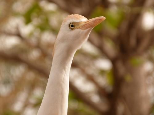 Garza en Gambia