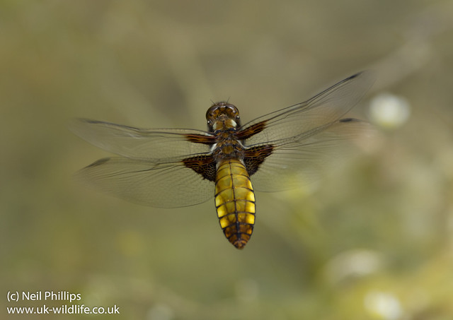 Broad bodied chaser female in flight Libellula depressa