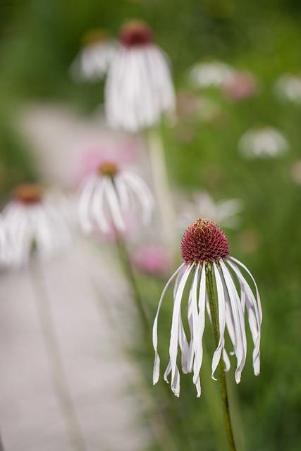 Coneflowers in Olbrich Garden