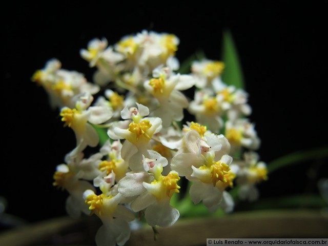 "1014 - Oncidium Twinkle ""Fragrance Fantasy"""