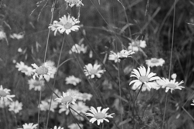 bwdaisies