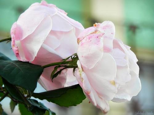 no jardim secreto das rosas de inverno by Odete de Paula
