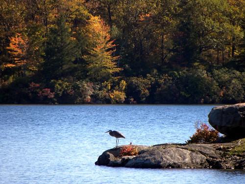 autumn newyork greatblueheron stateparks ardeaherodias harrimanstatepark laketiorati