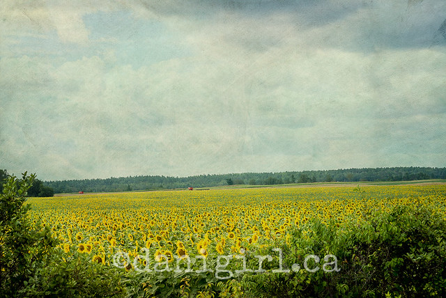 photo of a Sunflower field