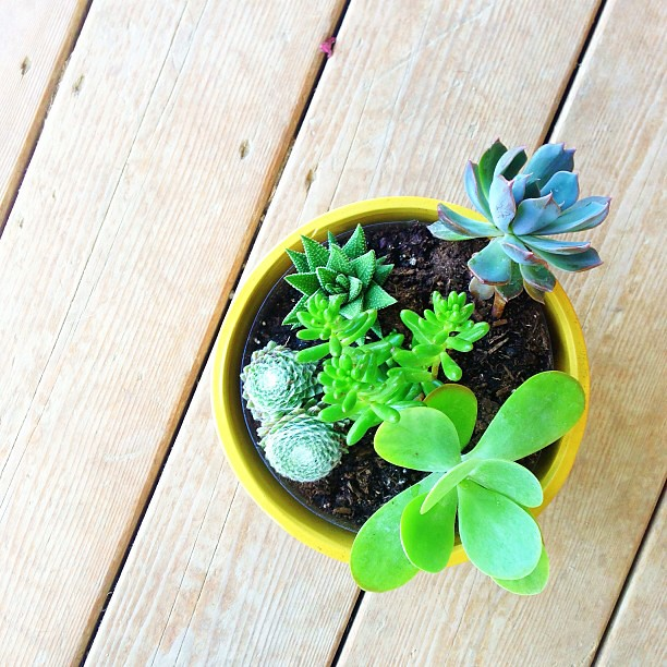 potted a few tiny little succulents, I can't get over how CUTE they are // any tips for novice gardener?