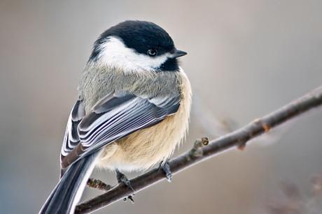 PCBs cause birds to sing a different tune | @GrrlScientist