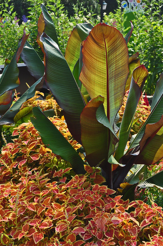 Ensete maurelii and Solenostemon scutellarioides 'Rustic Orange'