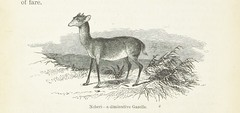 """British Library digitised image from page 232 of """"Explorations and adventures in Equatorial Africa; with accounts of the manners and customs of the people and of the chace of the gorilla, crocodile, leopard, elephant, hippopotamus and other animals. (Seco"""
