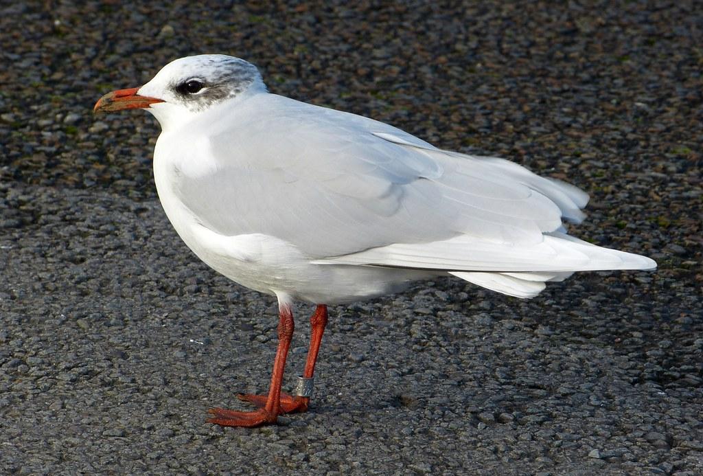 P1060448 - Mediterranean Gull, Bracelet Bay
