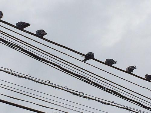 電線に鳩がたくさん