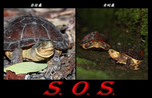 食蛇龜與棺材龜,圖片來源:林哲安