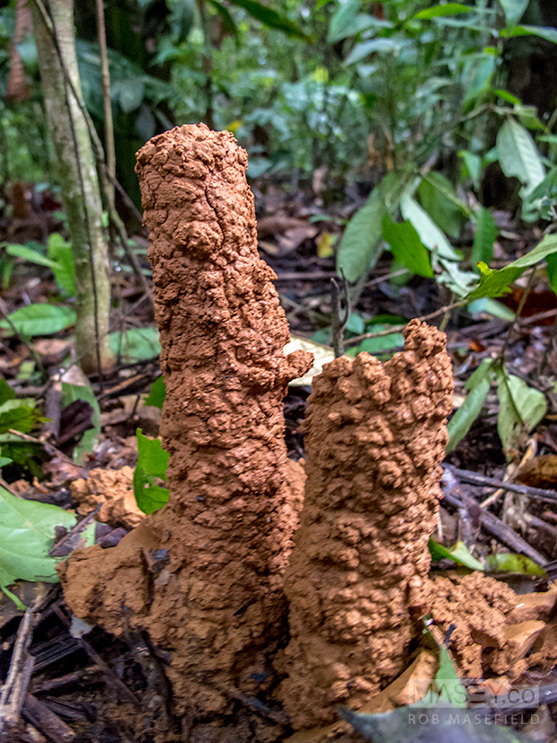 Mud stacks, presumably built by some species of ant or termite.