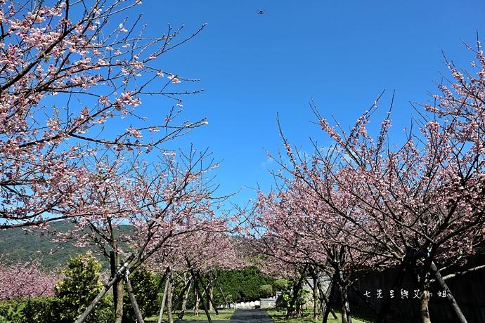 10 平菁街42巷櫻花