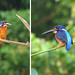 Small photo of Alcedo meninting, Blue-eared Kingfishers