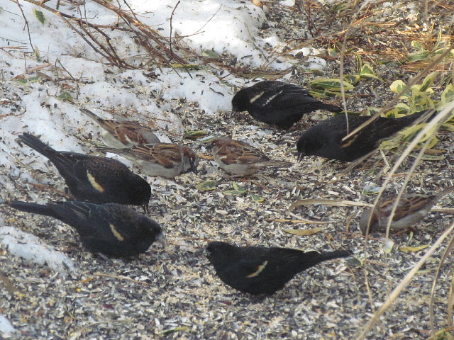 Red-wing Blackbirds et al 2:25:14