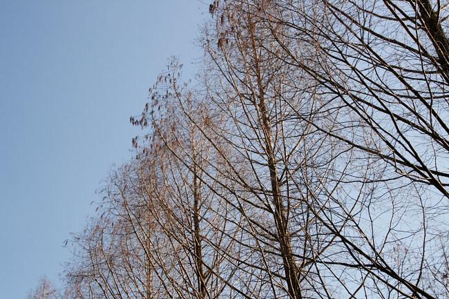 メタセコイアの木(だと思う)