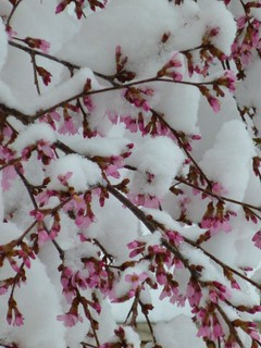 DC: Snow, Then Cherry Blossoms