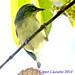 CIGUITA AZUL HEMBRA.Setophaga caerulescens.BLACK THROATED BLUE WARBLER. by LOPEZ LUCIANO .1,500,000 VISITAS.GRACIAS....