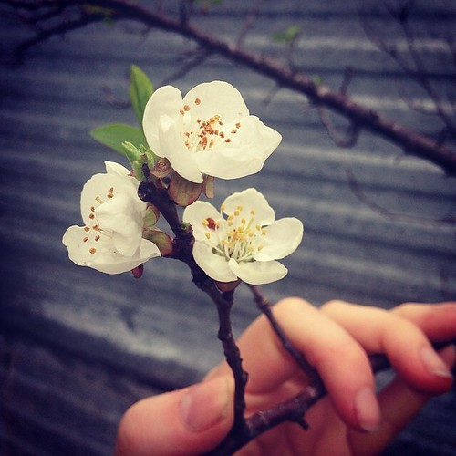 Hello, apricot tree! I totally thought you were dead - but no! One of my favorite things about spring is walking around making discoveries in my garden - seeing what survived the brutal summer and long winter freezes... To survive in my garden, you gotta