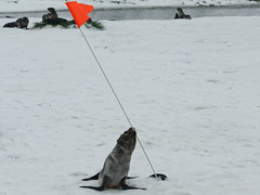 Curious young fur seal tests flag pole for edibility DSC04225 Fortuna Bay, South Georgia