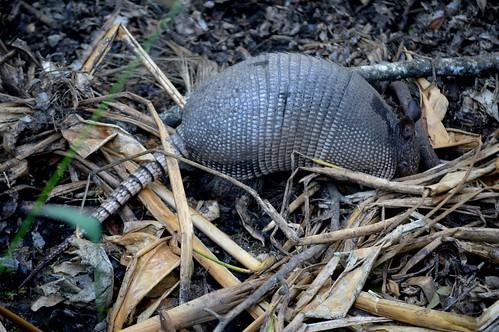 armadillo mud swamp ncmountainman nikon d3200 phixe highlandshammockstatepark highlandshammock sp florida statepark