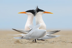 Elegant Terns Courting