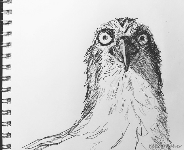 Osprey Drawing
