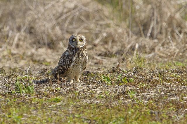 Asio flammeus - Gufo di palude - Hibou des marais - short-eared owl [ crop ]