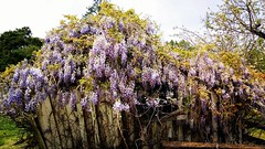 From a few weeks ago #wisteria #old #backtonature #rustic #reclaimed