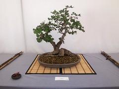 produce(0.0), plant(1.0), sageretia theezans(1.0), houseplant(1.0), bonsai(1.0),