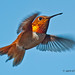 Male Rufous On The Fly by jimgspokane