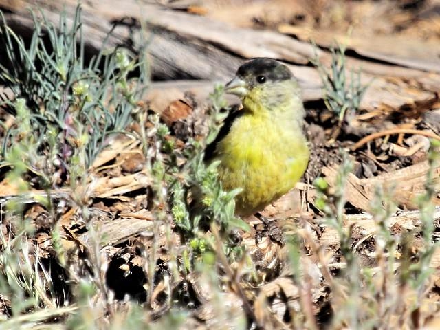 Lesser Goldfinch 3-20130619
