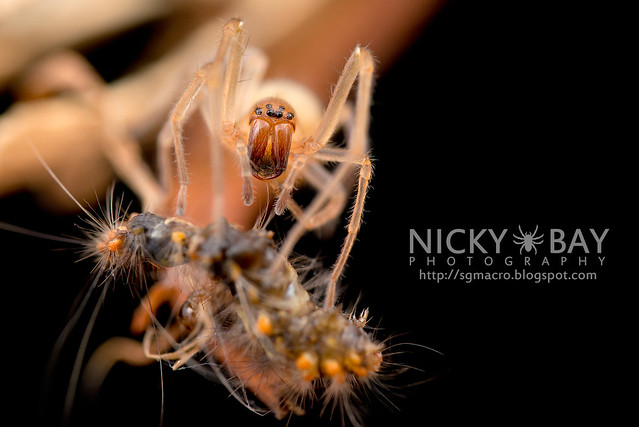 Long-Legged Sac Spider (Miturgidae) - DSC_9681