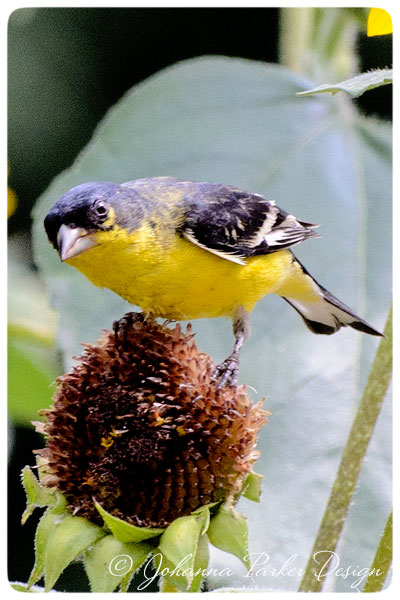 Lesser-Goldfinch-looks