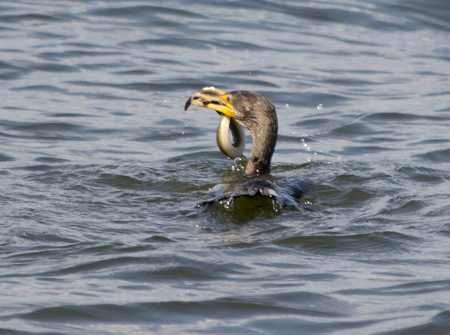 Great Cormorant 0008 - chomping on eel - East Potomac Park - 2013-08-25