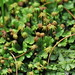 Common Liverwort - Photo (c) Steven Severinghaus, some rights reserved (CC BY-NC-SA)