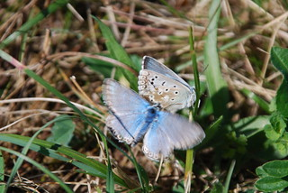 Chalkhill Blue (Polyommatus coridon) on the Kaiserstuhl