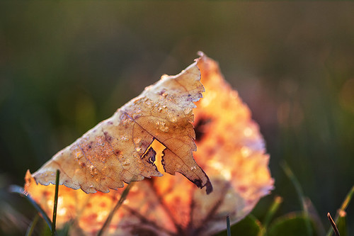 autumn sunset orange sunlight macro green fall grass yellow backlight leaf bokeh decay autumncolors backlit 100mmf28 canoneos50d