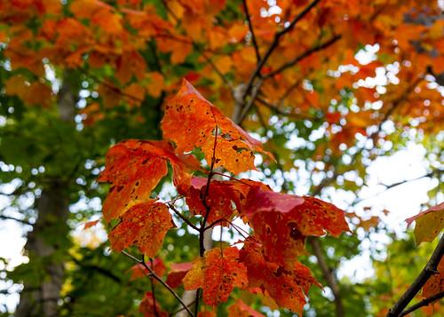 Maple Leaves in Orange