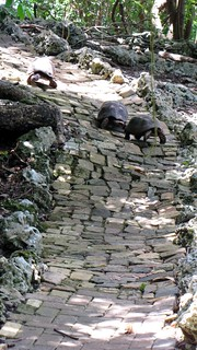 Tortuous path for a romantic tortoise