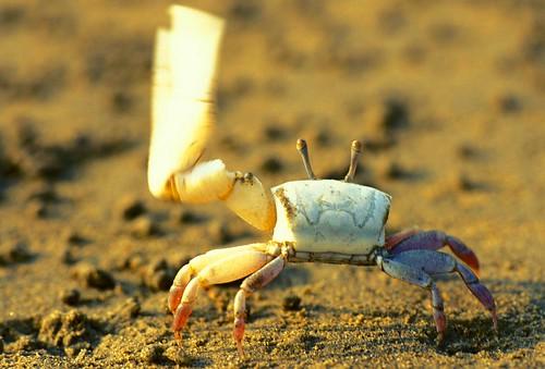 乳白招潮 (Uca lactea),是膽子最大的招潮蟹,只需在海邊稍候,雄蟹們就會很快的出洞,表現出誇張的側向式揮舞行為。(圖片攝影:施習德)