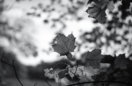 Maple Leaf Study