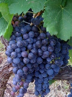 CA_Grapes on Vine_ABB